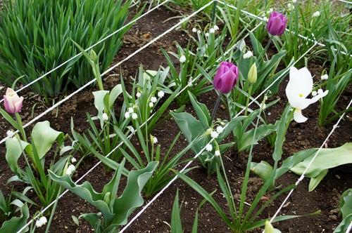 【園芸と雑事】今日はスナップエンドウ/チューリップ他の暴風雨対策と障子貼りで終わりました。_b0033423_22565122.jpg