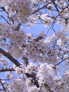 すずめと桜_e0127625_18564750.jpg