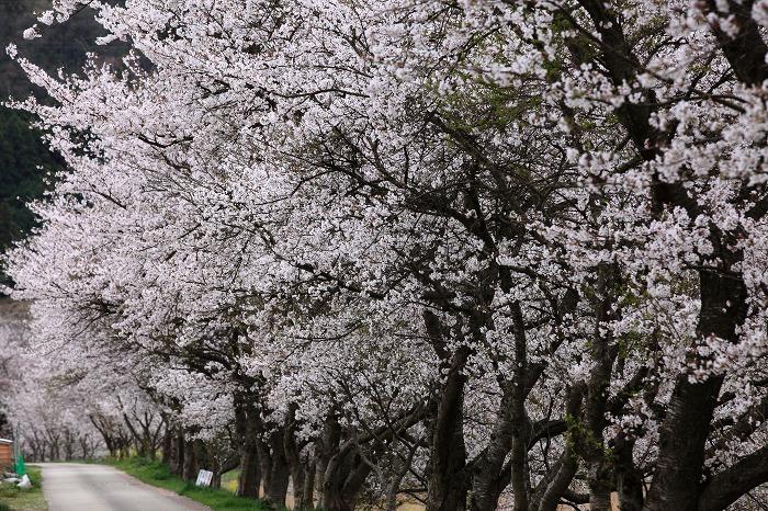 2013 桜 (竹田城跡・速報)_a0294534_19505487.jpg