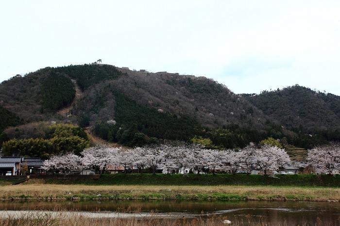 2013 桜 (竹田城跡・速報)_a0294534_1951999.jpg