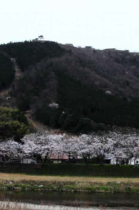2013 桜 (竹田城跡・速報)_a0294534_19523268.jpg