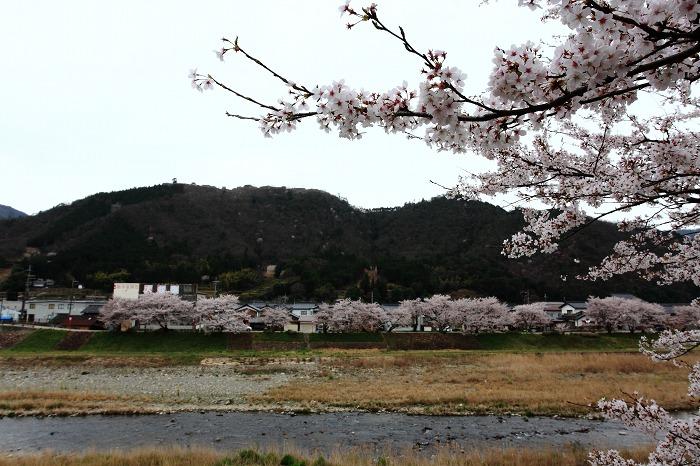 2013 桜 (竹田城跡・速報)_a0294534_19525816.jpg
