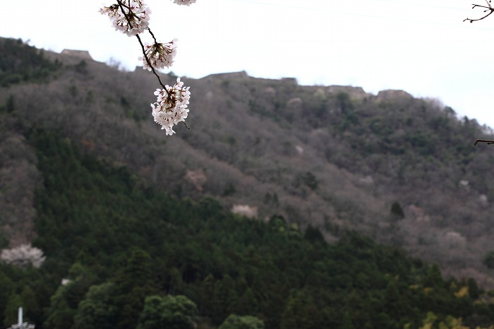 2013 桜 (竹田城跡・速報)_a0294534_1952868.jpg