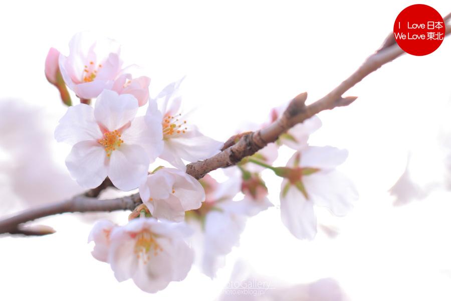 桜(富山市) ~2013~_b0157849_17461675.jpg