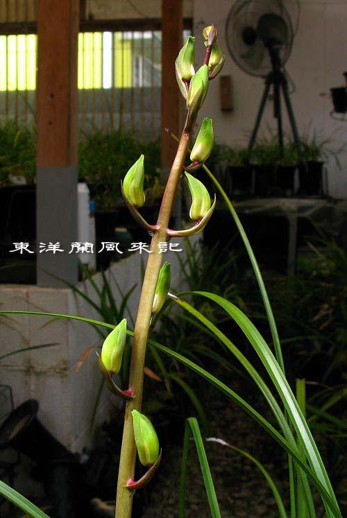 中国蘭一茎九華の蕾                 No.1267_d0103457_1591181.jpg