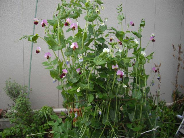 これって根性花ですよ~_d0116059_225039.jpg