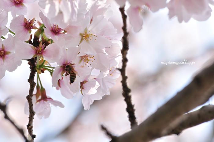 大分市/七瀬川自然公園/満開の桜_f0234062_23103216.jpg