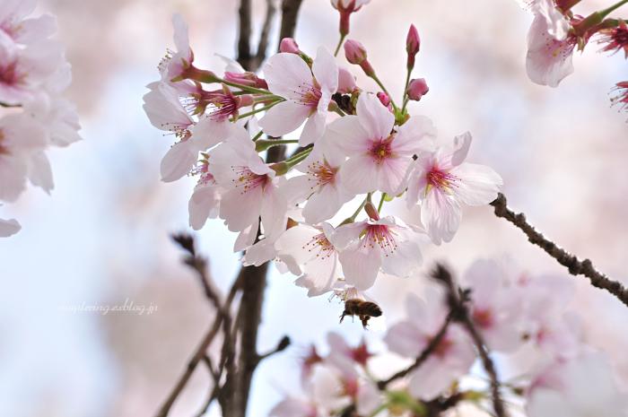 大分市/七瀬川自然公園/満開の桜_f0234062_23103226.jpg