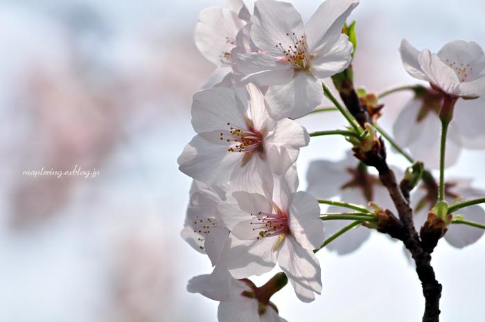 大分市/七瀬川自然公園/満開の桜_f0234062_23103313.jpg