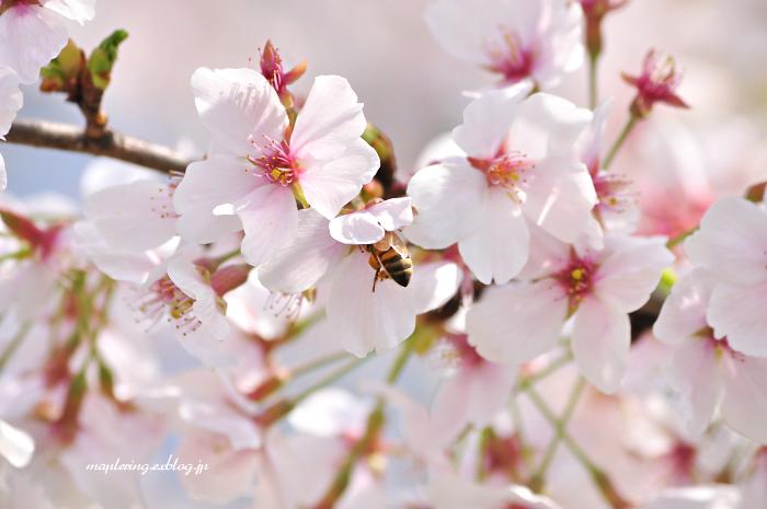 大分市/七瀬川自然公園/満開の桜_f0234062_23103320.jpg