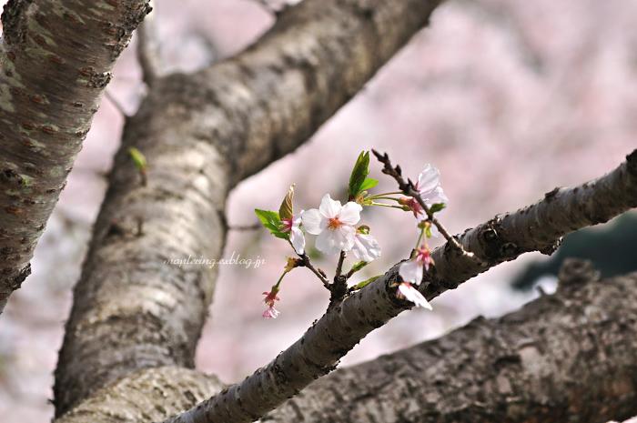 大分市/七瀬川自然公園/満開の桜_f0234062_23103447.jpg