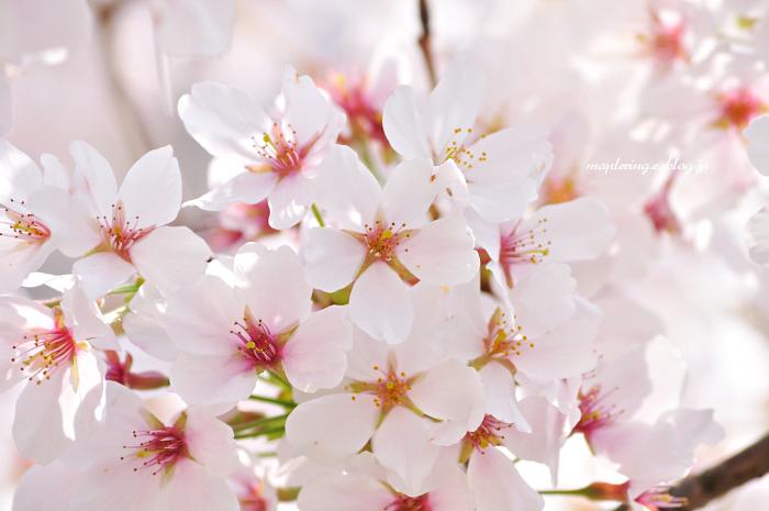 大分市/七瀬川自然公園/満開の桜_f0234062_23103461.jpg