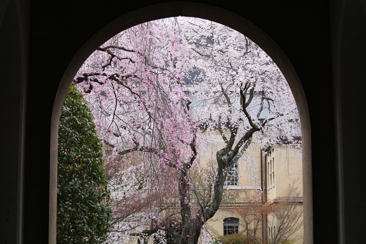 桜 2013 <京都 京都府庁> _f0021869_2346260.jpg