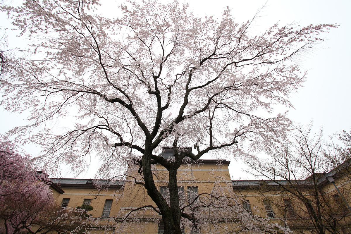 桜 2013 <京都 京都府庁> _f0021869_2349375.jpg