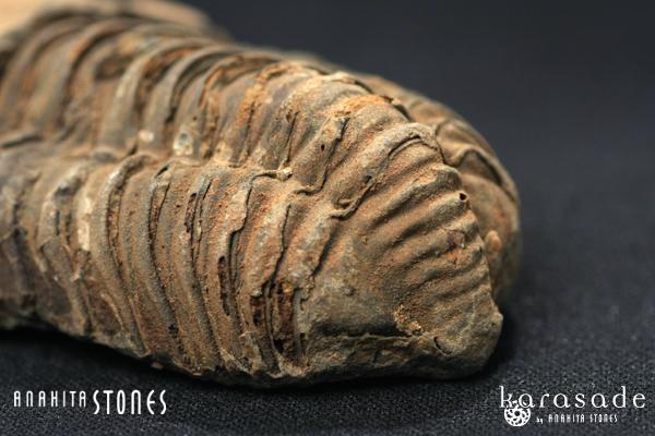 三葉虫化石(モロッコ産)_d0303974_1915051.jpg