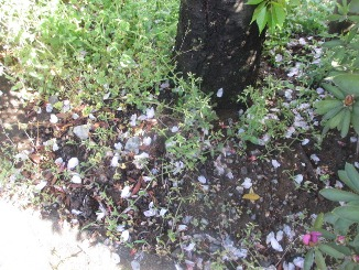 「葉桜」は夏の季語!_d0091909_8553791.jpg