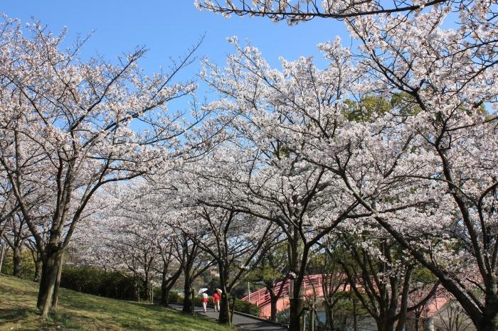 今年も福山に桜の季節がやってきました!_f0167415_1444225.jpg