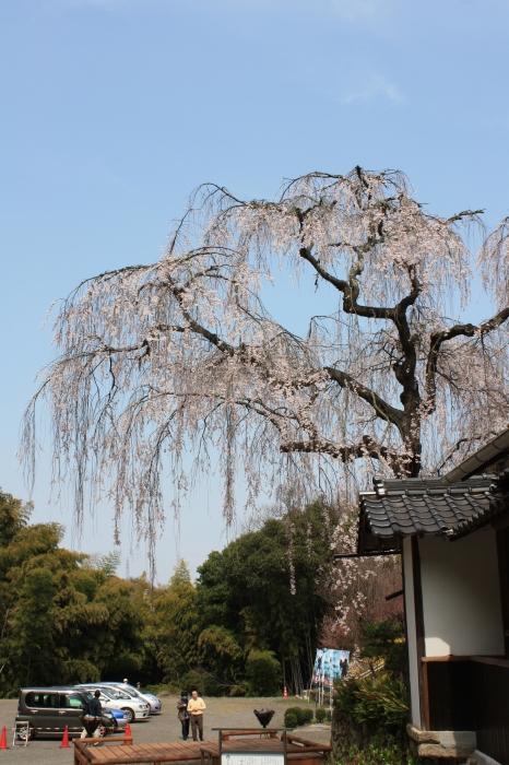 今年も福山に桜の季節がやってきました!_f0167415_14472389.jpg