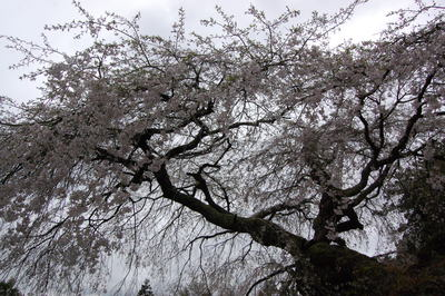 滝蔵権現桜、東吉野の宝蔵寺の枝垂れ桜_a0237937_19565616.jpg