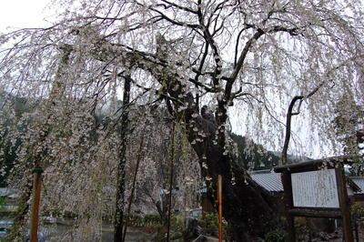 滝蔵権現桜、東吉野の宝蔵寺の枝垂れ桜_a0237937_19591823.jpg