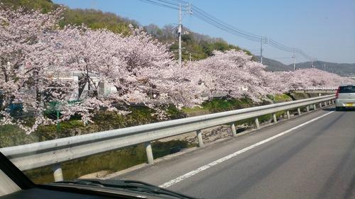 桜_c0206243_9475778.jpg