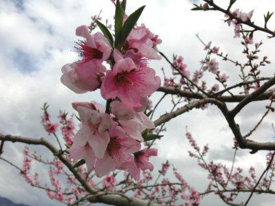 新府の桃は満開♪_f0019247_1650576.jpg