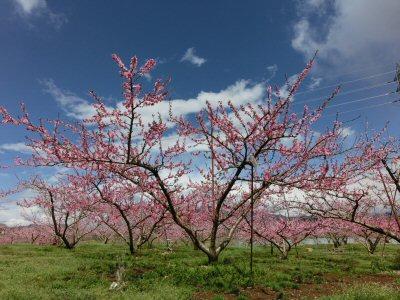 新府の桃は満開♪_f0019247_1714511.jpg