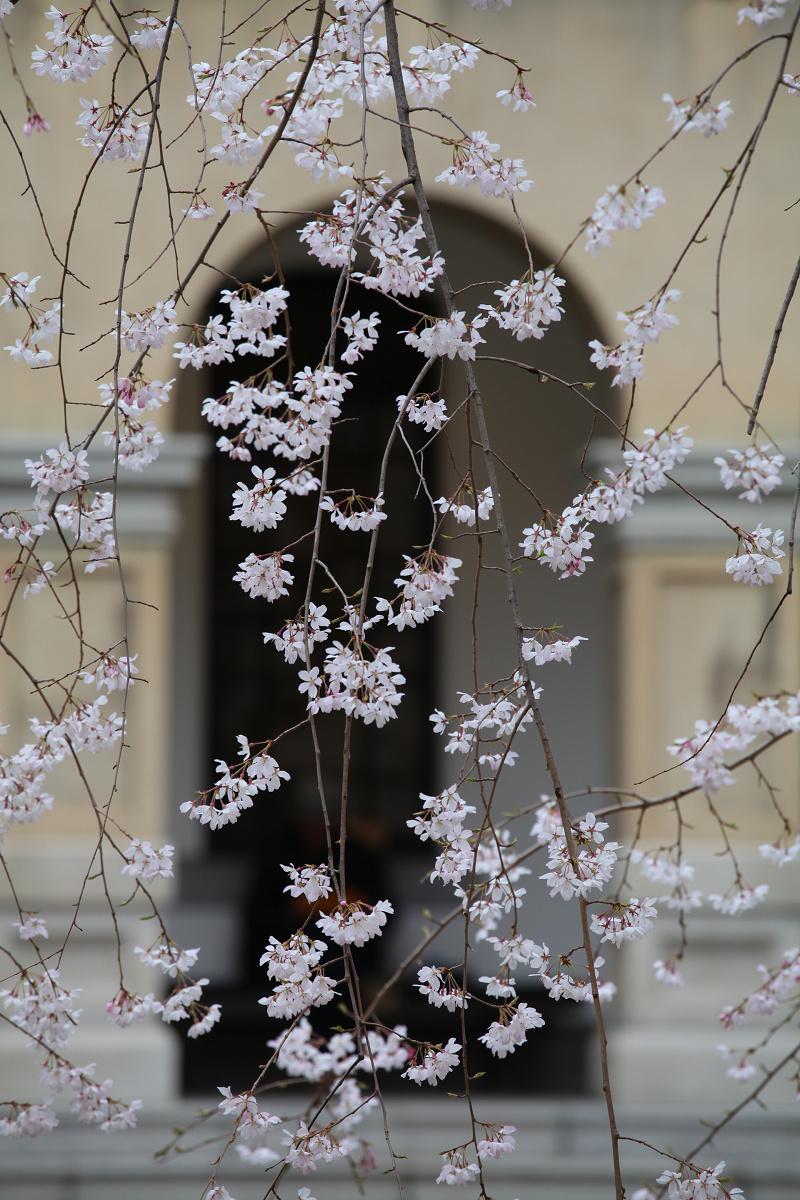 桜 2013 <京都 京都府庁>  _f0021869_23541966.jpg