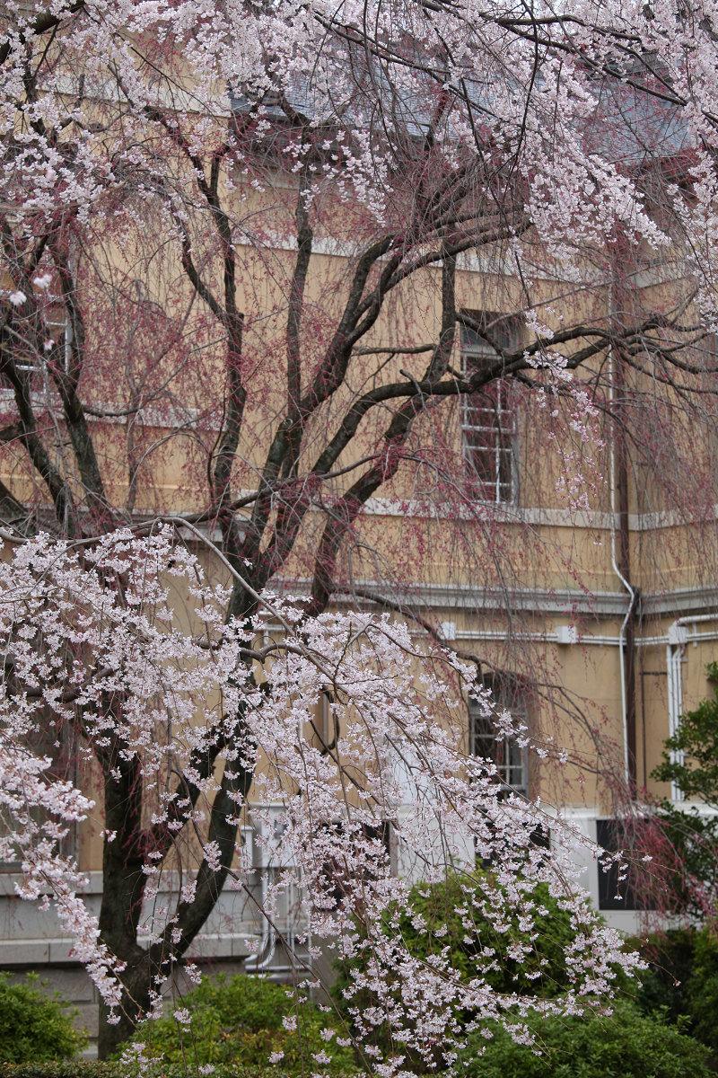 桜 2013 <京都 京都府庁>  _f0021869_23564037.jpg