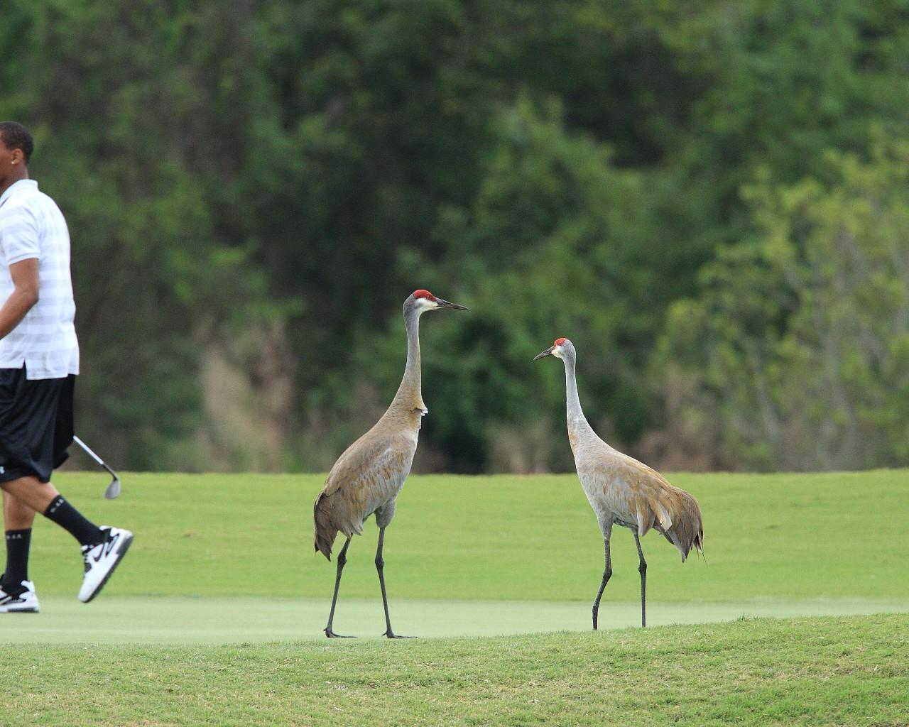 フロリダの鳥2013年春その2: ゴルファーと仲良しのカナダヅル_f0105570_14525276.jpg