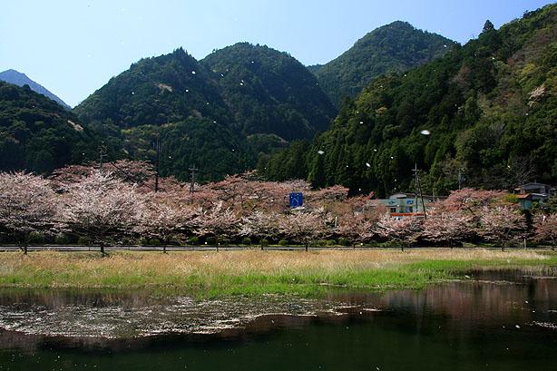 下北山の桜_b0186680_10414055.jpg