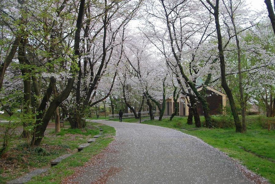 桜散る_c0187781_243518.jpg