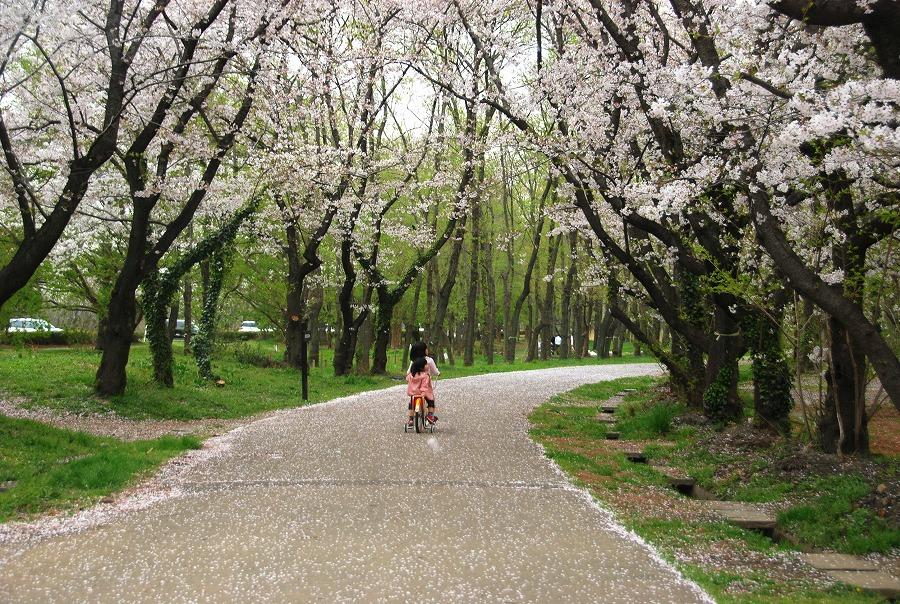 桜散る_c0187781_2484082.jpg