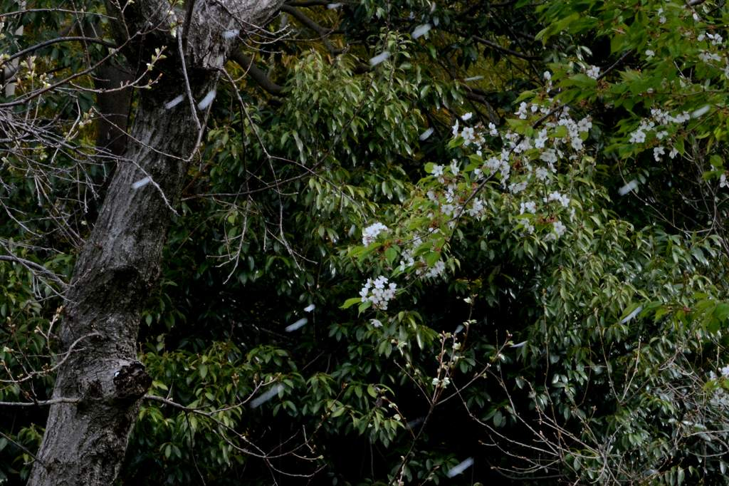 芦原のカワセミ&ダイビング/雨のフィールド/花散らし/夏姿のシメ_b0024798_53414.jpg