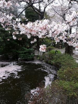 今年も楽しませていただきました、満開の鬱金(ウコン)桜_e0010418_14194474.jpg