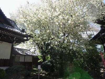 今年も楽しませていただきました、満開の鬱金(ウコン)桜_e0010418_1420835.jpg