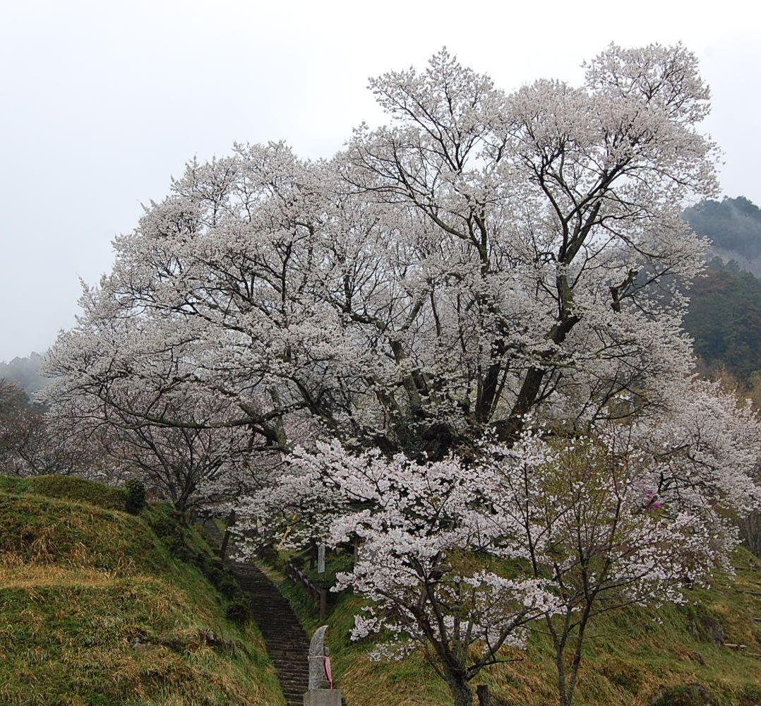 仏隆寺の千年桜は満開に_a0237937_2134126.jpg