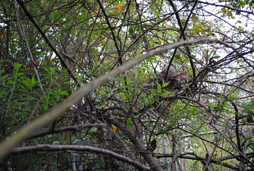 春の庭/キジバトが巣をかけた_d0101846_713216.jpg