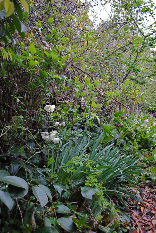 春の庭/キジバトが巣をかけた_d0101846_722413.jpg