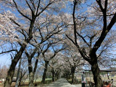 真原の桜並木も満開♪_f0019247_1843694.jpg