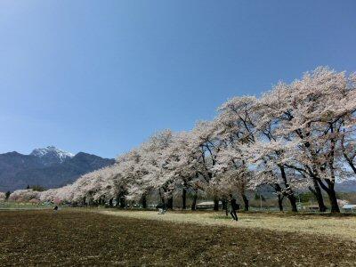 真原の桜並木も満開♪_f0019247_1851816.jpg