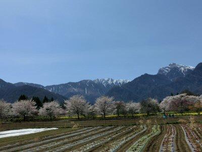 真原の桜並木も満開♪_f0019247_1854348.jpg