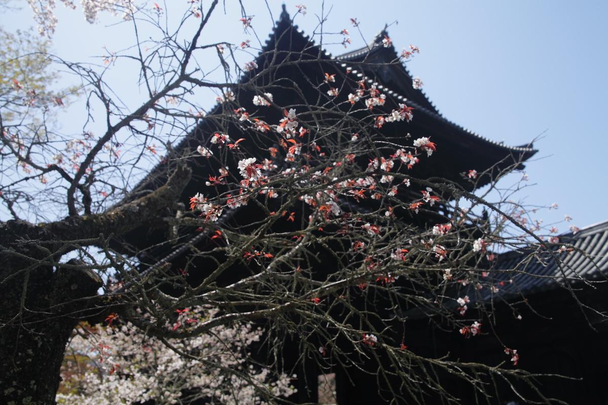 桜 2013 <京都 東山界隈> _f0021869_2363430.jpg