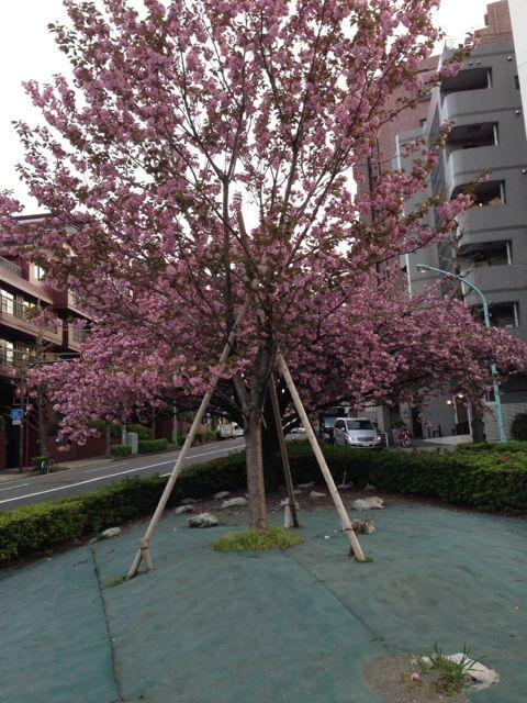 2013.4.8   八重桜_a0083571_2224027.jpg