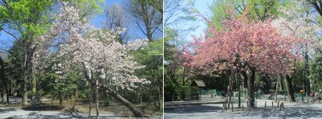 春を満喫、アトムの設計図を見に図書館へ_d0183174_19362584.jpg