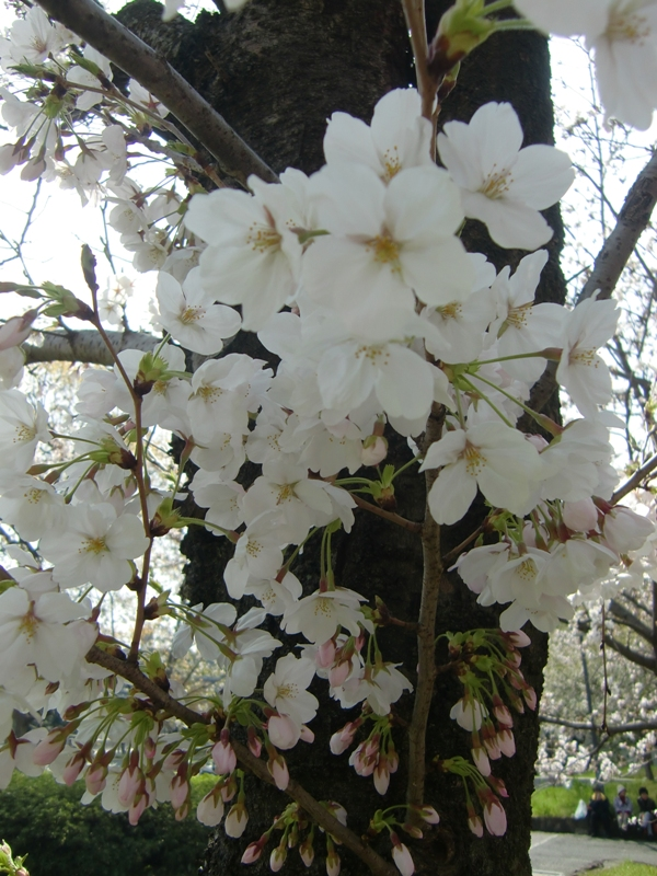 ◆ 花見 _f0238779_844319.jpg