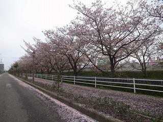 桜吹雪_f0059988_16373490.jpg