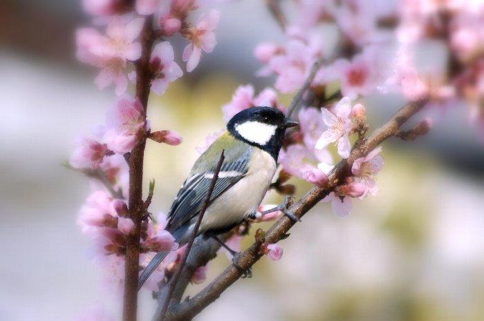 桜に四十雀_c0057390_22373985.jpg