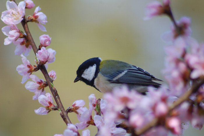 桜に四十雀_c0057390_22381082.jpg