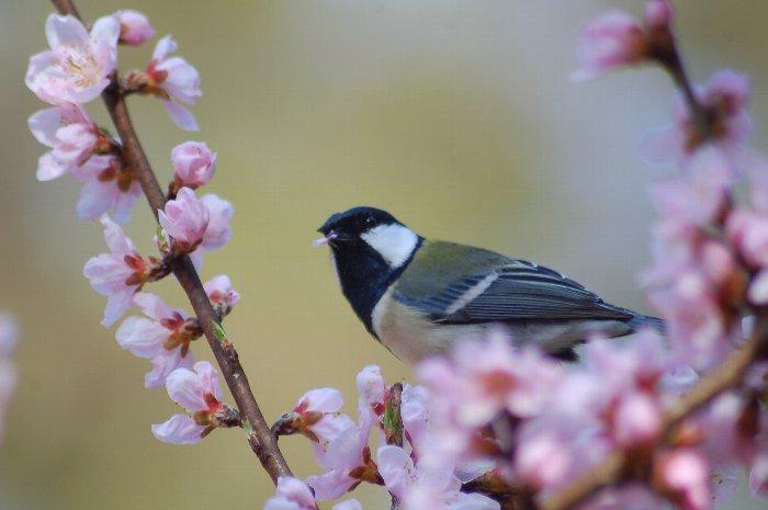 桜に四十雀_c0057390_2238792.jpg